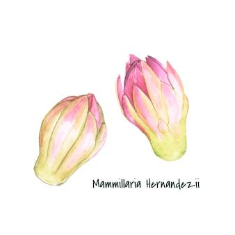 Hand drawn mammillaria hernandezii pincushion cactus