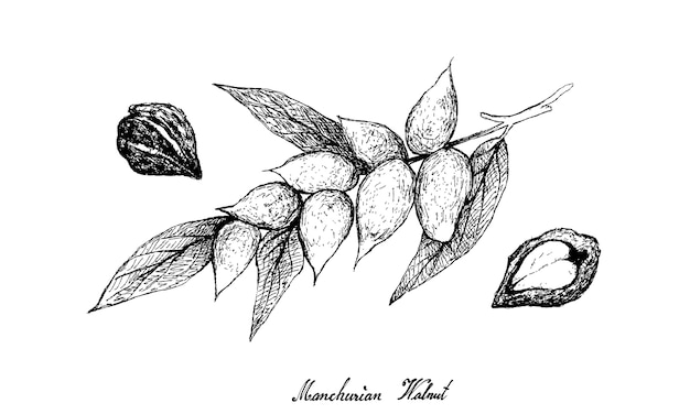 Hand drawn of manchurian walnut on tree
