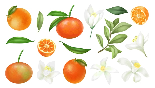 Hand drawn mandarins, tree branches, leaves and mandarin flowers clipart, isolated on a white