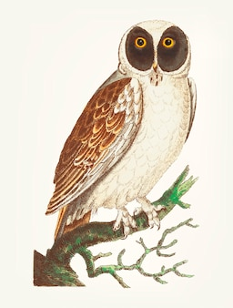Hand drawn of masked owl