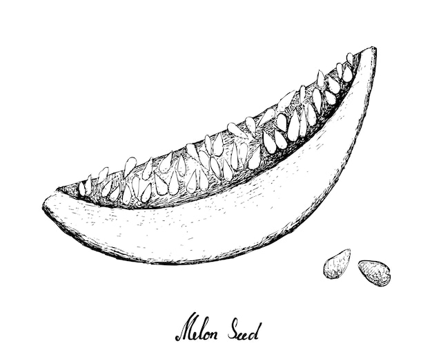 Hand drawn melon illustration Premium Vector