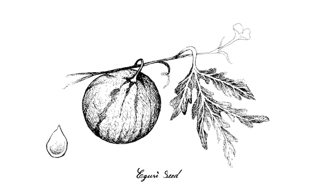 Hand drawn of melon with egusi seed