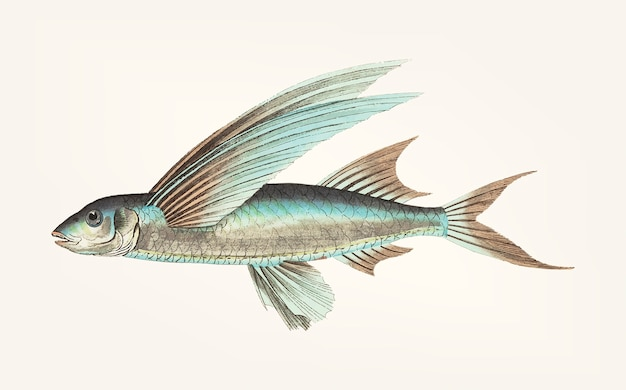 Hand drawn of middle-finned flyingfish