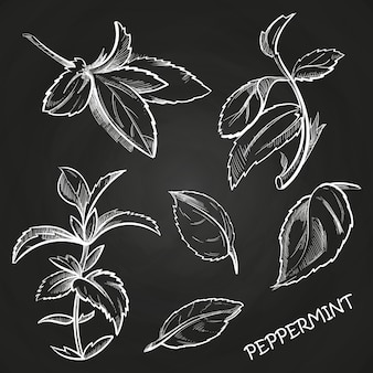 Hand drawn mint leaves peppermint set on chalkboard