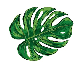Hand drawn monstera deliciosa tropical leaf isolated