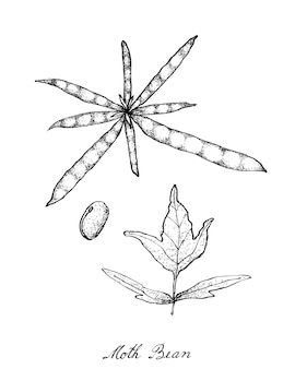 Hand drawn of moth bean plant and pods