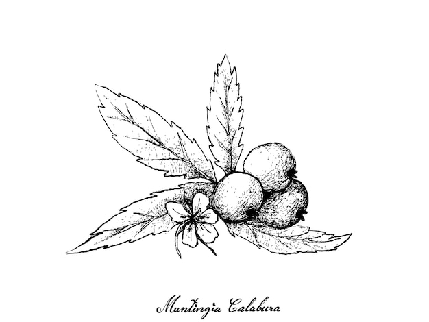 Hand drawn of muntingia calabura fruits