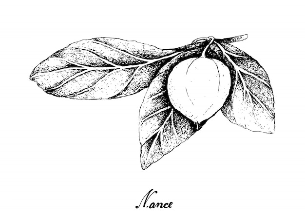 Hand drawn of nance fruits on white background