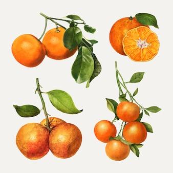 Набор рисованной натуральных свежих апельсинов