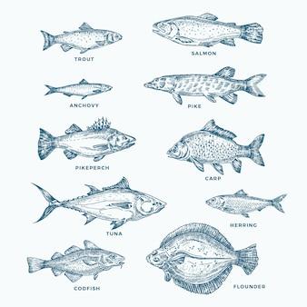 손으로 그린 바다 또는 바다와 강 10 물고기 세트. 연어와 참치 또는 파이크와 멸치, 청어, 송어, 잉어 스케치 실루엣 모음. 외딴.