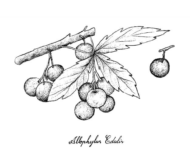 アロフィラスエデュリスフルーツの白い背景の上に描かれた手