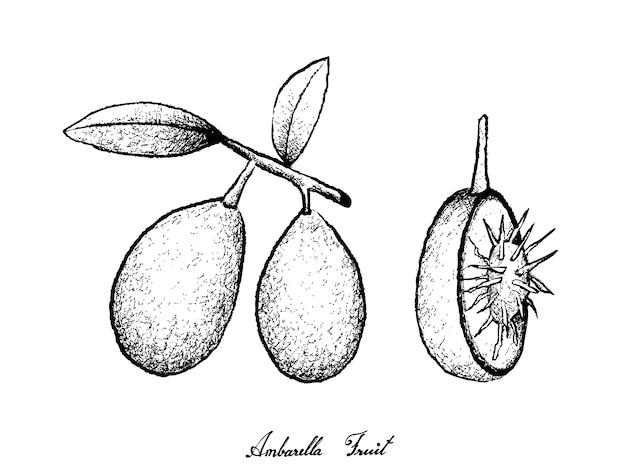 Ambarella 과일의 손으로 그린
