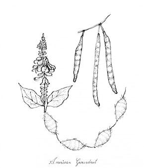 미국 땅콩 식물의 손으로 그린
