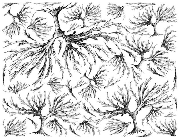 흰색 배경에 arame 해초의 손으로 그린