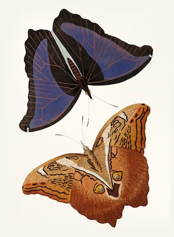 Hand drawn of automedon giant owl butterflies