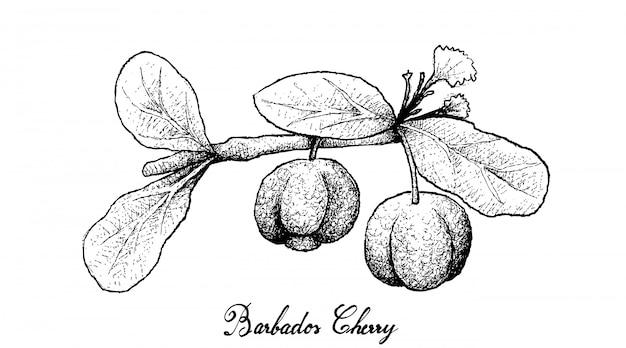 Ручной обращается барбадос вишни на белом фоне
