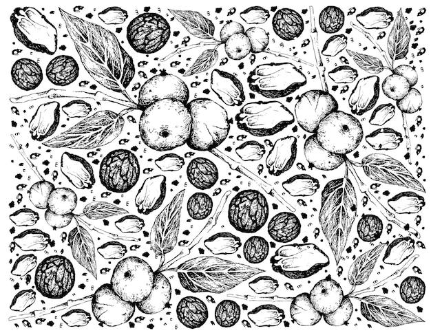 Рисованной черных грецких орехов на ветке