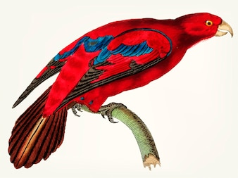 Hand drawn of blue-tipped lory