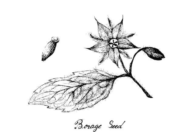 Borage 씨앗의 손으로 그린