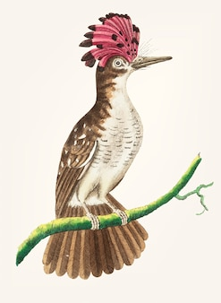 Hand drawn of brown tody