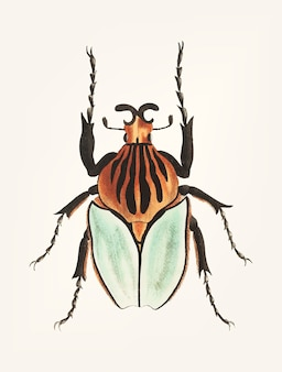 Hand drawn of cacique beetle