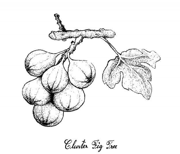 Ручной обращается из кластера фиговое дерево на белом фоне