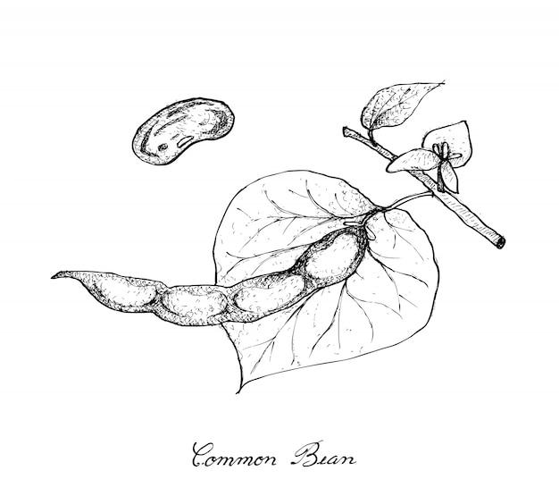 일반적인 콩 식물의 손으로 그린 프리미엄 벡터