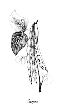 Cowpea 또는 vigna unguiculata 식물의 손으로 그린
