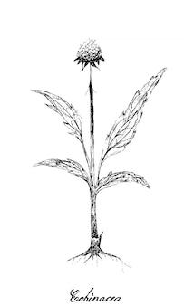 에키 네시아 또는 coneflowers 식물의 손으로 그린