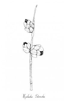 白い背景の上のエフェドラtriandraフルーツの手描き