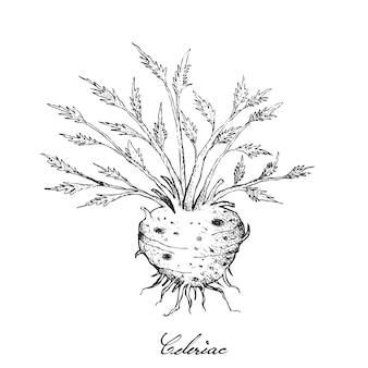잎이 신선한 celeriac 뿌리의 손으로 그린