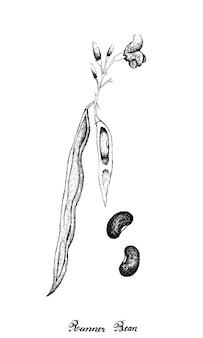 손으로 그린 신선한 녹색 러너 콩 식물