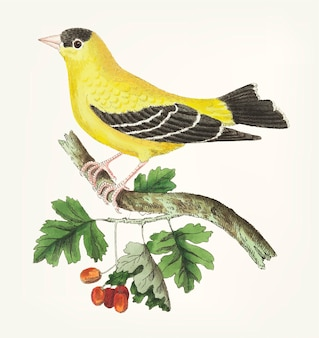 Hand drawn of golden finch