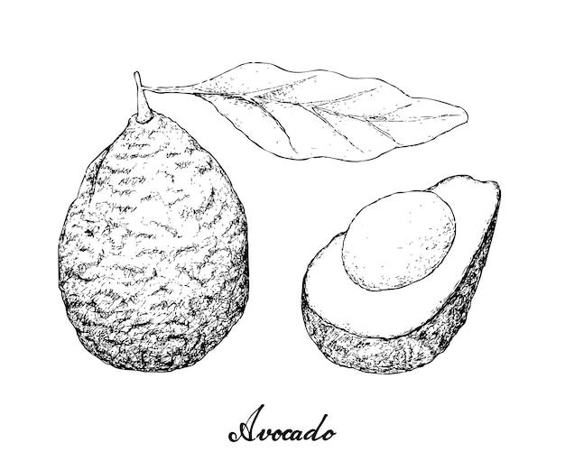 Ручной обращается зеленый авокадо на белом фоне