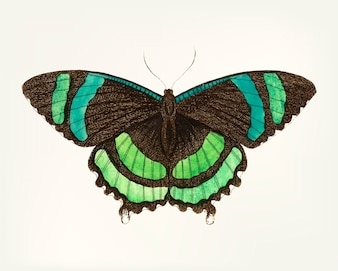 Hand drawn of green-banded tailed butterfly