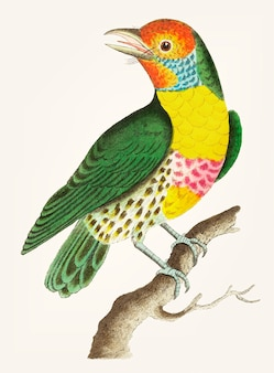 Hand drawn of green barbet