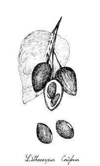 Lithocarpus ceriferusまたはstone oakの手描き