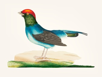 Hand drawn of long tailed manakin