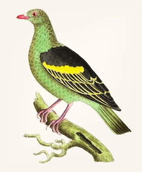 Hand drawn of olive-green pigeon