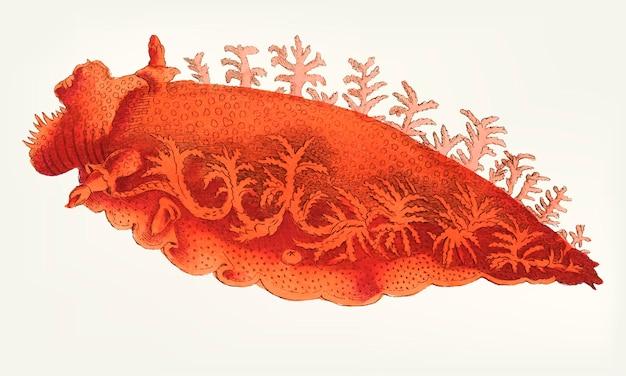Palmiferous dorisの手描き