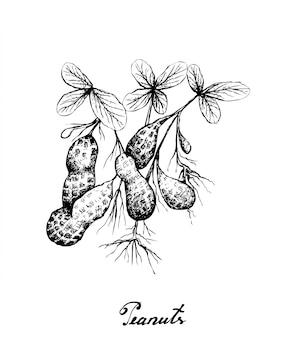 땅콩 식물의 손으로 그린