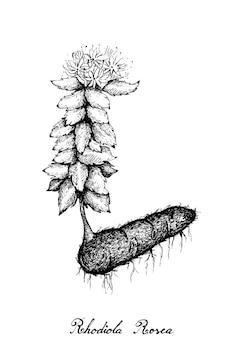 Rhodiola rosea 또는 황금 뿌리의 손으로 그린