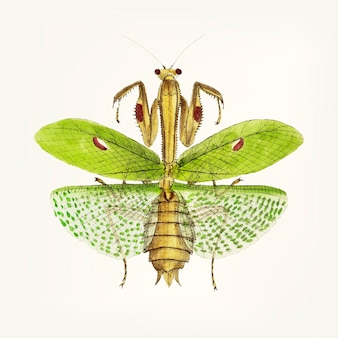 Hand drawn of sacred mantis