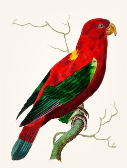 Hand drawn of scarlet lory