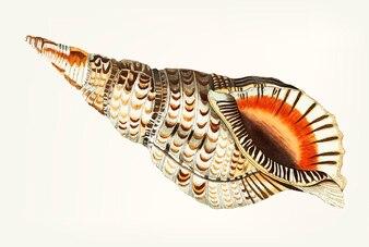 Hand drawn of sea trumpet