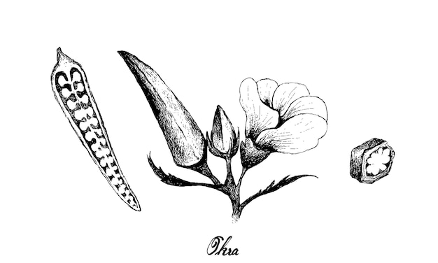 Hand drawn okra illustration