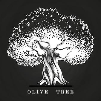 黒板に手描きの古いオリーブの木。ツリーオリーブスケッチ、地中海の収穫農業イラストを描く