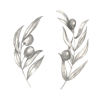 Hand drawn olive branches with leaves.