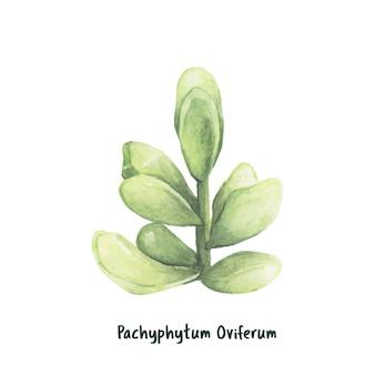 Hand drawn pachyphytum oviferum succulent