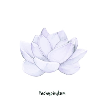 Hand drawn pachyphytum succulent isolated